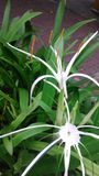 White spider lily Stock Photos