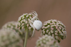 White spider lurking for prey Royalty Free Stock Photos