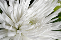White Spider Mum Royalty Free Stock Image