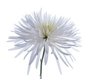 White spider mum Royalty Free Stock Photography