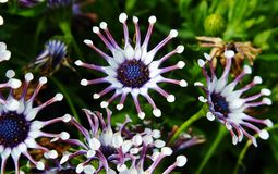 White spider Osteospermum stock photos