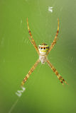 White spider wait with woven web spider Royalty Free Stock Images