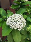White spike flower on the tree, close up. It is a flowering shrub native to Southern India and SriLanka Stock Images