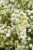 White spiraea blossom. Old bush of white spiraea in the garden Royalty Free Stock Photography