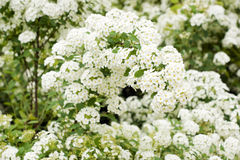 White spiraea blossom. Old spiraea bush in summer garden Royalty Free Stock Photo