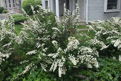 White spiraea bush blooming in spring Royalty Free Stock Images