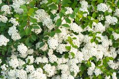 White Spiraea cantoniensis, spring flowers. royalty free stock image