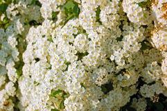 White Spiraea flower. Spiraea alpine spring flower - white flowering shrub Stock Photography