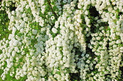 White Spiraea flower. Spiraea alpine spring flower - white flowering shrub Royalty Free Stock Image