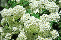 White Spiraea flower. Spiraea alpine spring flower, white flowering shrub Stock Photo
