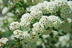 White Spiraea flower. Spiraea alpine spring flower, white flowering shrub Stock Image