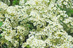 White Spiraea flower. Spiraea alpine spring flower, white flowering shrub Royalty Free Stock Photos