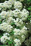 White Spiraea flower. Spiraea alpine spring flower, white flowering shrub Royalty Free Stock Image