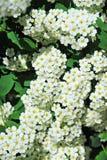 White Spiraea flower. Spiraea alpine spring flower, white flowering shrub Royalty Free Stock Photo