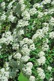 White Spiraea flower. Spiraea alpine spring flower, white flowering shrub Stock Images