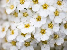 White Spiraea flowers Royalty Free Stock Photography