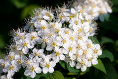 White Spiraea (Meadowsweet) Flowers. Brightly lit in spring Stock Images