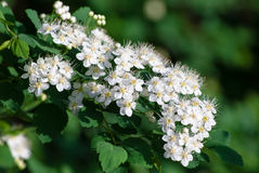 White Spiraea (Meadowsweet) Flowers. Brightly lit in spring Royalty Free Stock Photography