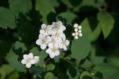 White Spiraea (Meadowsweet) Flowers. Brightly lit in spring Stock Photography