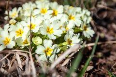White Spiraea (Meadowsweet) flowers early spring Stock Image