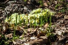 White Spiraea (Meadowsweet) flowers early spring stock photo