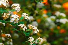 White Spiraea (Meadowsweet) Flowers. In the spring garden Royalty Free Stock Photo