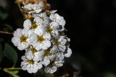 White Spiraea Petals Royalty Free Stock Photos