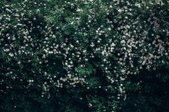 White spiraea spirea flowers on green blooming branch backdrop. Cantoniensis meadowsweet bush, greenery. environmental concept. space for text. springtime Stock Photos