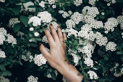 White spiraea spirea flowers on green blooming branch. cantonien. Sis meadowsweet in woman hand, greenery. environmental concept. space for text. springtime Royalty Free Stock Images