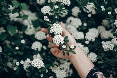 White spiraea spirea flowers on green blooming branch. cantonien. Sis meadowsweet in woman hand, greenery. environmental concept. space for text. springtime Royalty Free Stock Photos