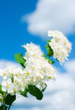 White Spirea. Against the blue sky Royalty Free Stock Photography