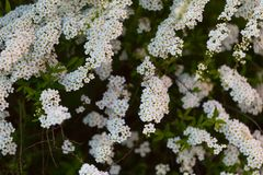 White spirea blooming in beautiful hedge Stock Photo