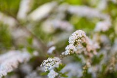 White spirea blooming in beautiful hedge Stock Image