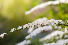 White spirea blooming in beautiful hedge Royalty Free Stock Photo