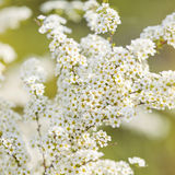 White Spirea flower. Spring landscape. Closeup Royalty Free Stock Photos