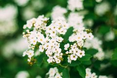 White Spirea Flowers Blooming On Bush At Spring. White Spirea Flowers On Bush At Spring. Spiraea Flowers Are Highly Valued In Decorative Gardening And Forestry Stock Photos