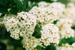 White Spirea Flowers Blooming On Bush At Spring. White Spirea Flowers On Bush At Spring. Spiraea Flowers Are Highly Valued In Decorative Gardening And Forestry Royalty Free Stock Images