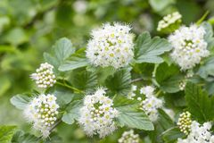 White Spirea Flowers. On Bush At Spring Royalty Free Stock Photos