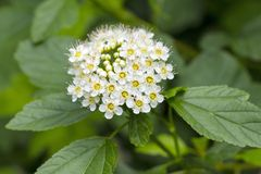 White Spirea Flowers. On Bush At Spring Stock Photography