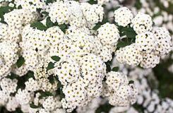 White Spirea Flowers On Bush Stock Images