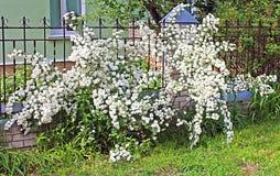 White Spirea Flowers On Bush Stock Image