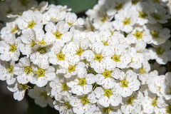 White Spirea Flowers On Bush At Spring.  Royalty Free Stock Image