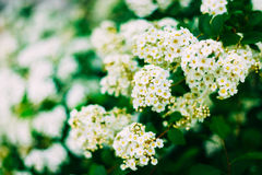White Spirea Flowers On Bush At Spring Royalty Free Stock Photo