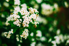 White Spirea Flowers On Bush At Spring Royalty Free Stock Photography