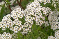 White Spirea Flowers closeup stock photo