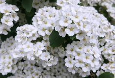 White spirea flowers photo. Card. Summer card of nature Stock Photo