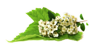 White Spirea fresh delicate flowers and petals, isolated on whit. E background scrapbook Royalty Free Stock Image