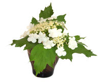 White Spirea fresh delicate flowers and petals, isolated on whit. E background scrapbook Royalty Free Stock Photo