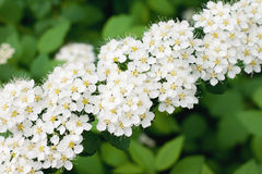 White Spirea in a garden Royalty Free Stock Photos