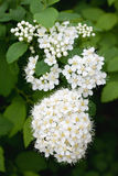 White Spirea Stock Photos